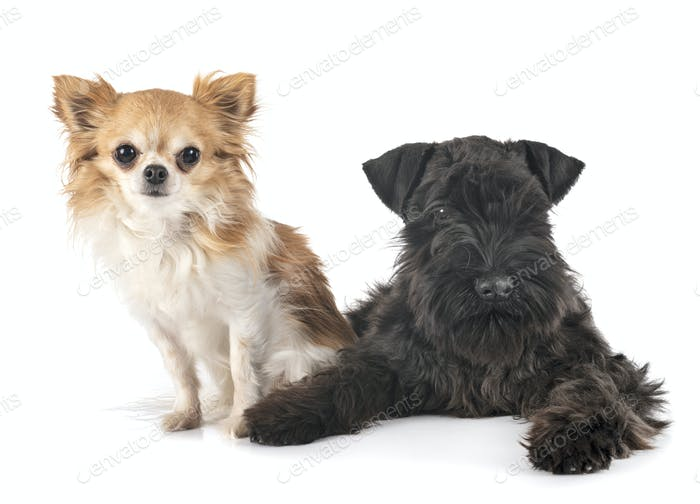 black miniature schnauzer and chihuahua