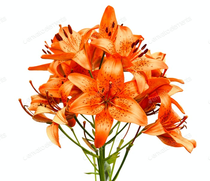 Orange lily flowers isolated on white