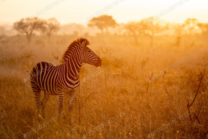 A zebra, Equus quagga, stands with a sunset in the background