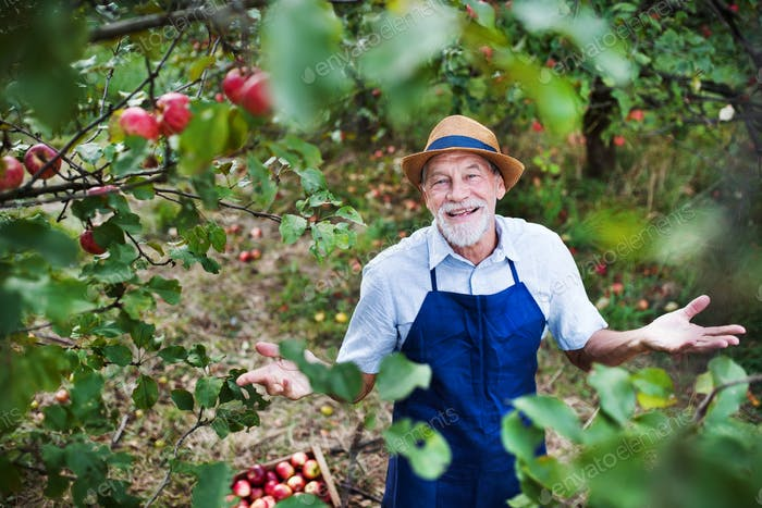 A senior man standing in apple orchard in autumn, throwing up arms.