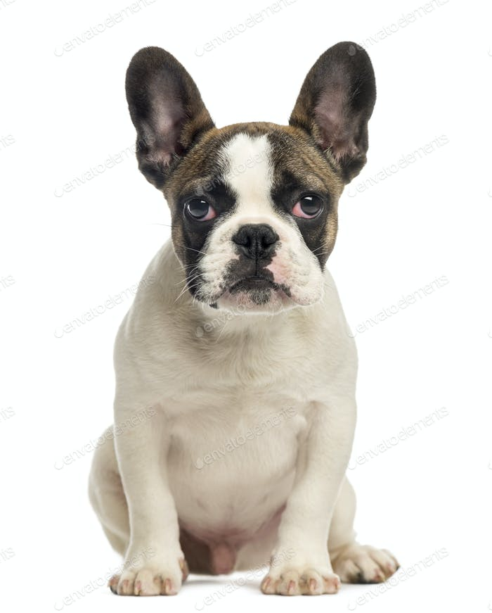 French Bulldog puppy, sitting, looking at the camera, 4 months old, isolated on white