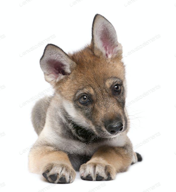Junger Europäischer Wolf - Canis lupus lupus