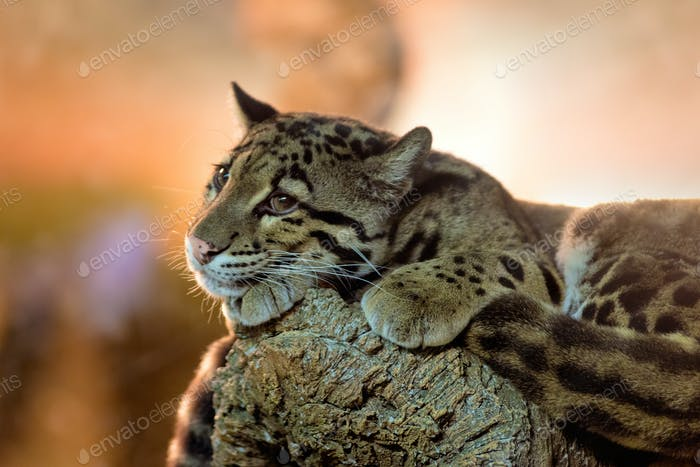 Young clouded leopard