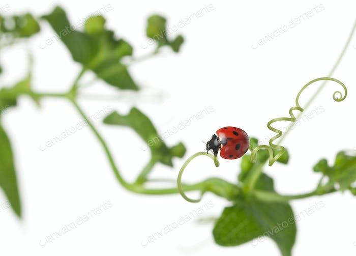 Seven-spot ladybird or seven-spot ladybug on Larger Bindweed, Coccinella septempunctata