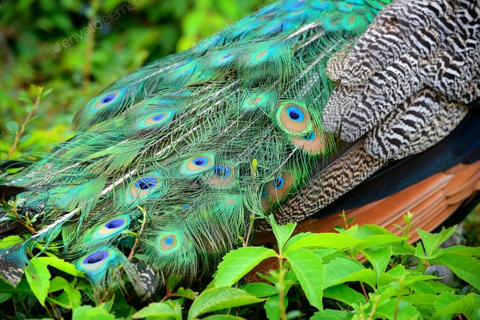 Colorful peacock feathers. Peacock Detail