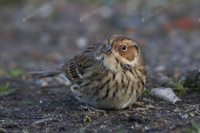 Little bunting (Emberiza pusilla)