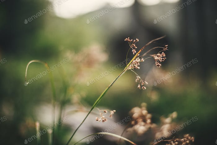 Beautiful wildflowers, close up of dried herbs on background of forest flora