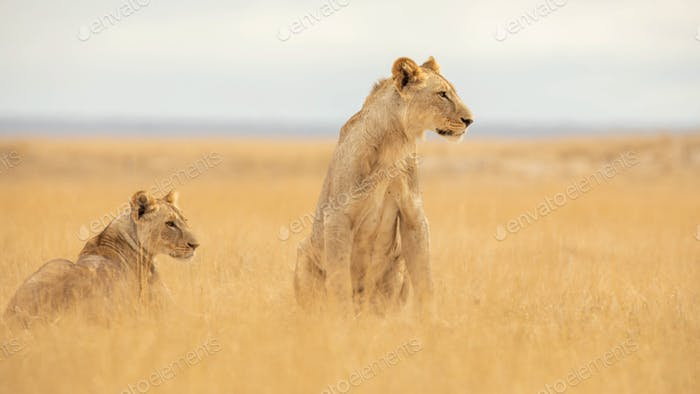 LION FOUND IN EAST AFRICAN NATIONAL PARKS