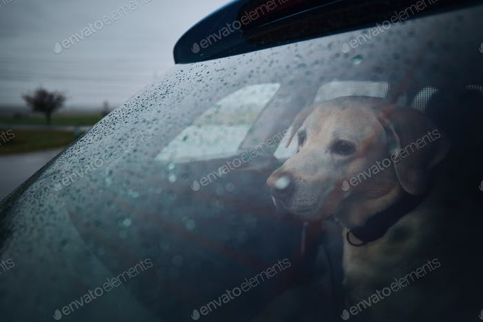 Patience dog waiting in car during heavy rain