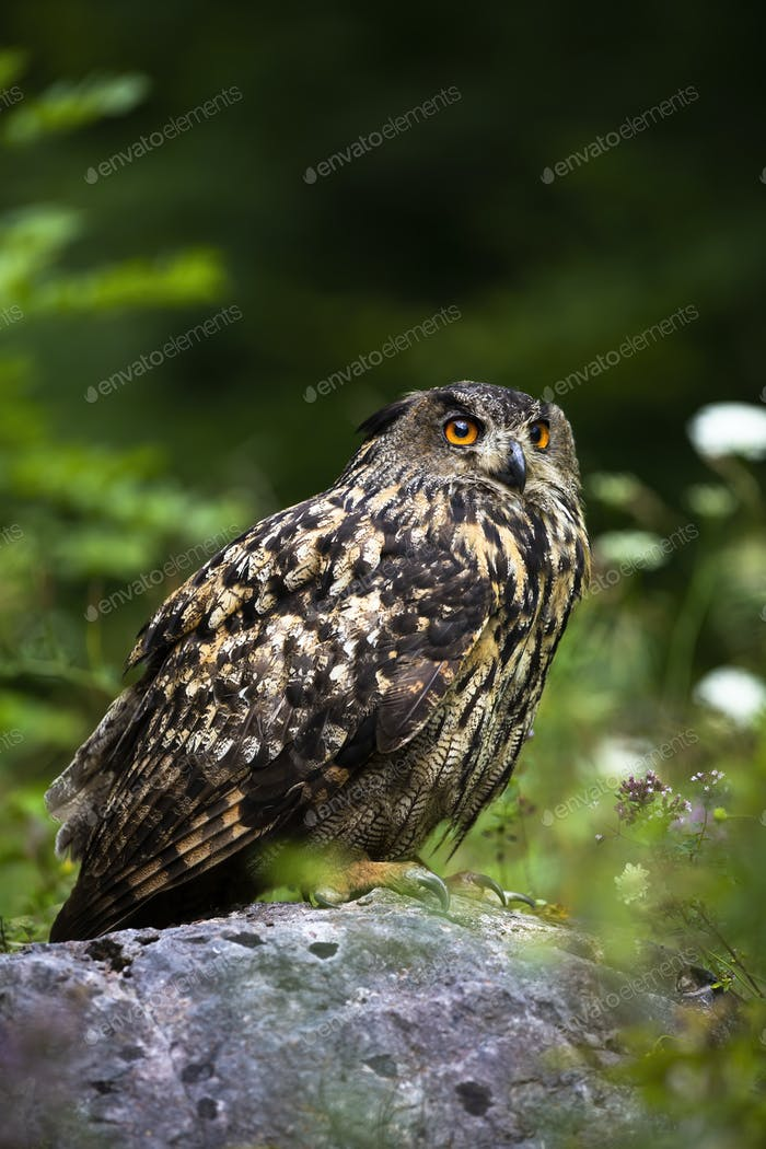 Strong eurasian eagle-owl looking up and sitting on a stone in summer nature