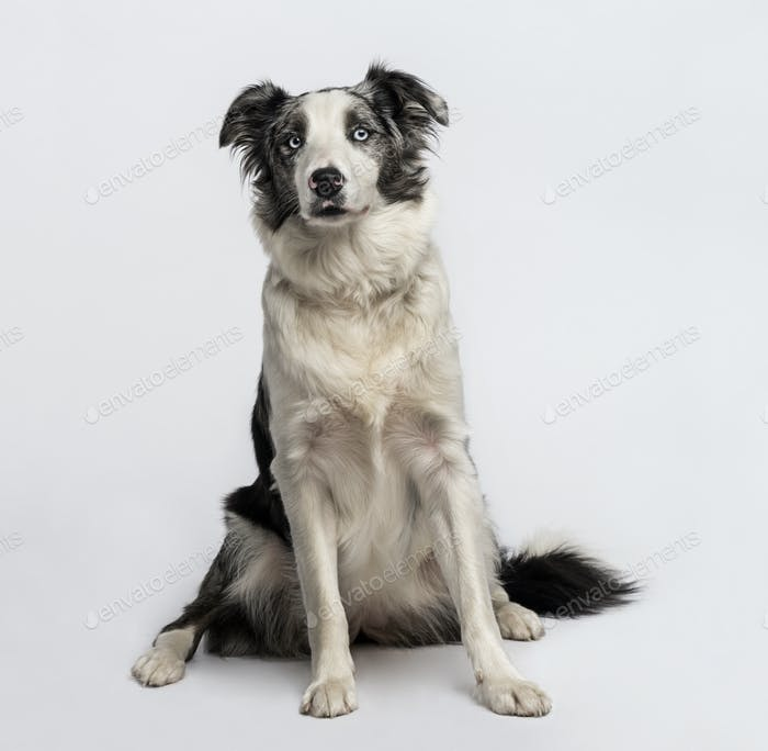 Border collie sitting