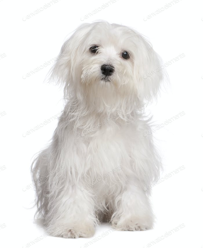 maltese dog puppy (7 months old)