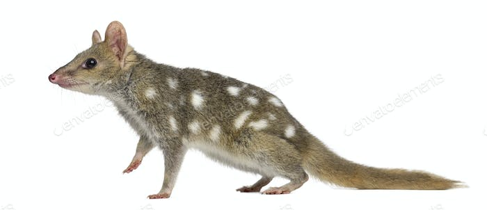Quoll walking,isolated on white