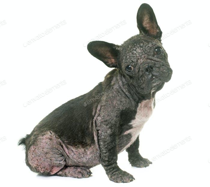 dog with Demodicosis