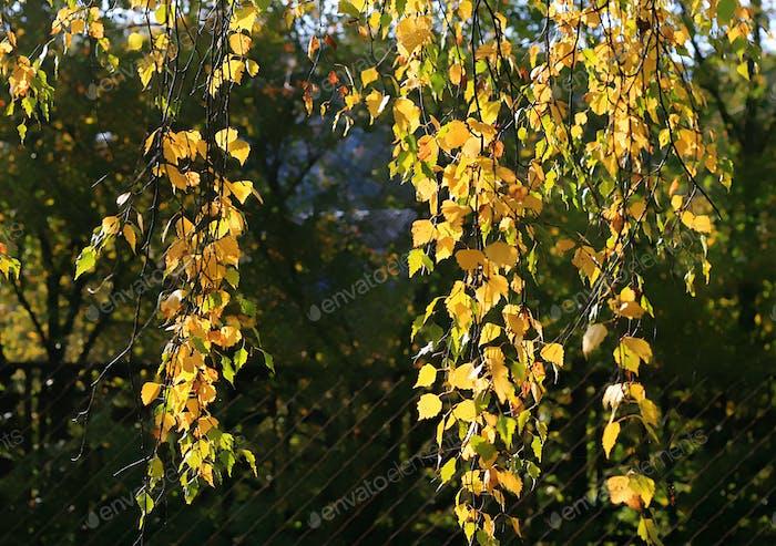 branch of autumn birch tree