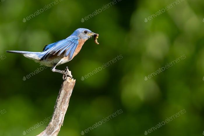Eastern Bluebird fliegt