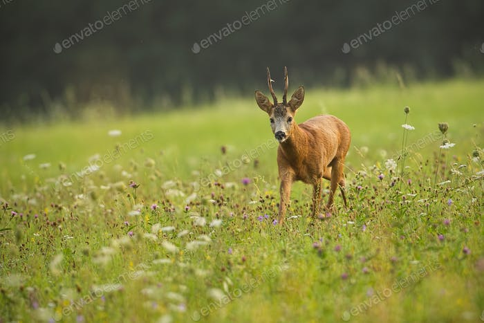 Roe deer, capreolus capreolus, buck in summer