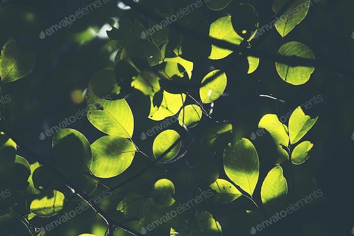 Green leaf, Rim Light