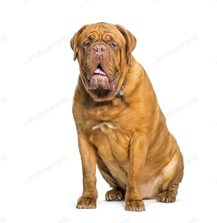 Dogue de bordeaux sitzend vor weißem Hintergrund