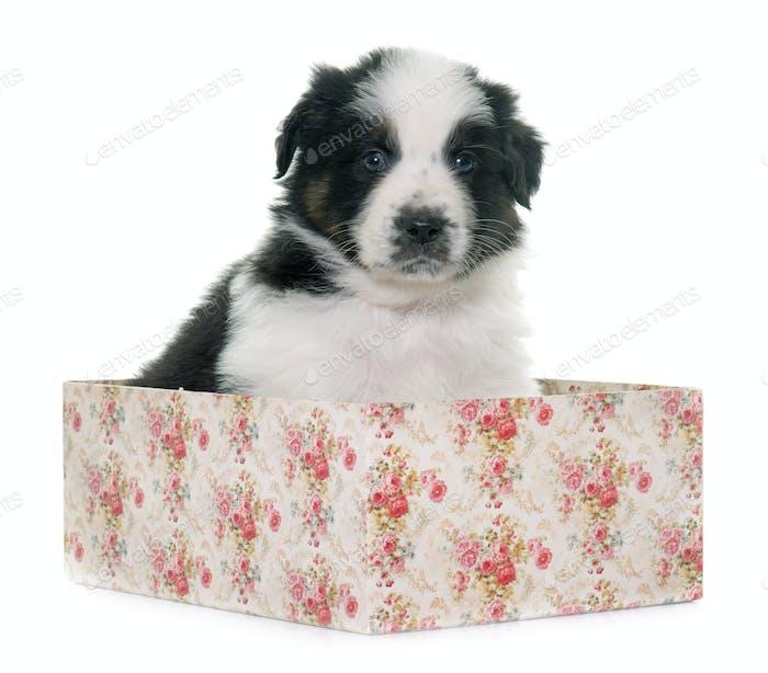 puppy asutralian shepherd