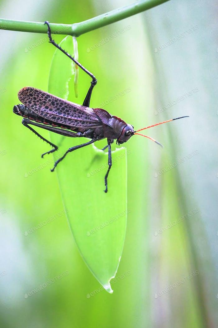 Purple Lubber Grasshopper in Costa Rica