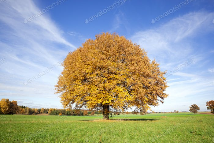 an autumn tree in the green meadow