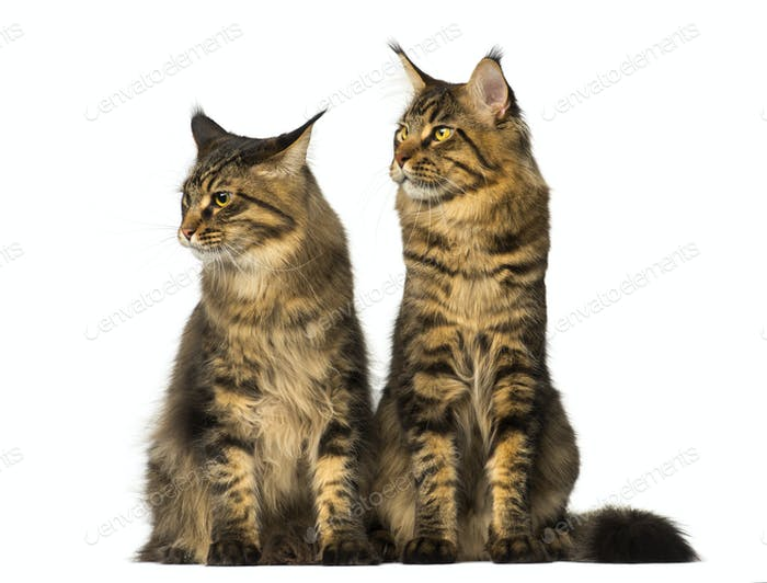 Two Maine Coons sitting and looking away