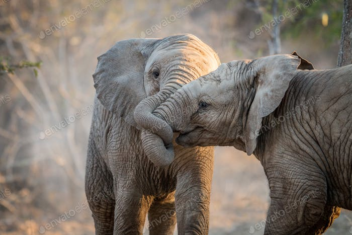 Elephants playing and cuddling.