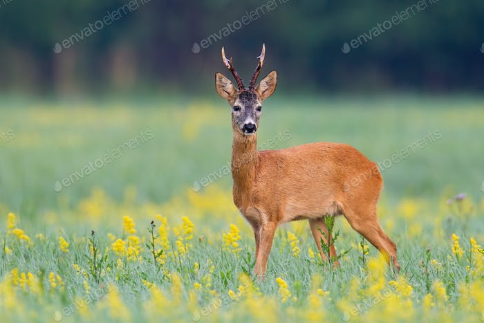 Curios roe deer buck listening with ears on a glade with green vegetation