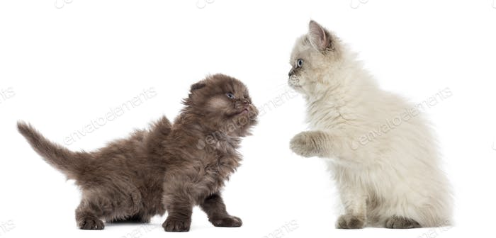 British Longhair kittens looking at each other