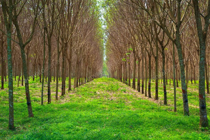 Para Gummibaumgarten im Süden von Thailand