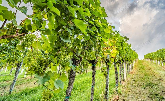 Nahaufnahme der Traubenreihen am Weinberg in Südsteiermark Touristenort