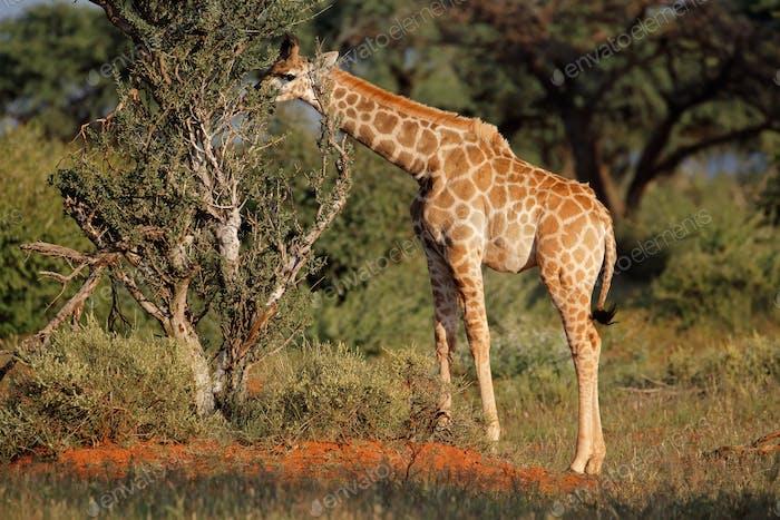 Young giraffe feeding