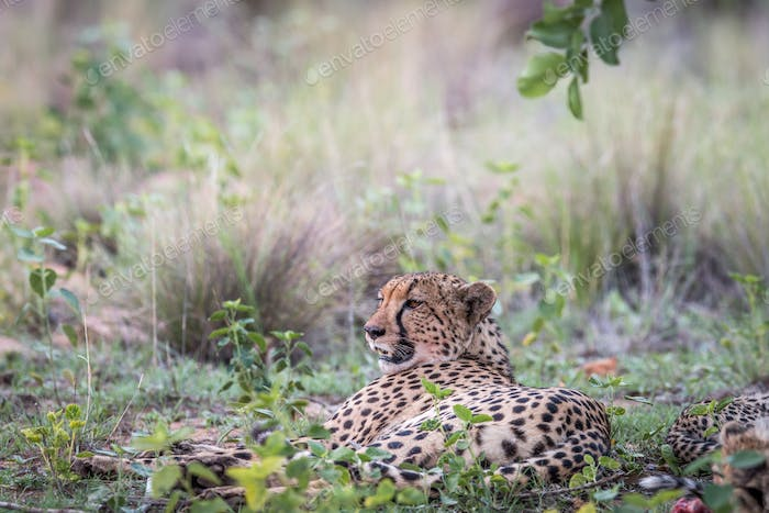 Cheetah laying down in the grass.