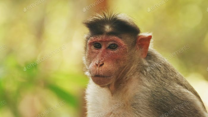 Goa, India. Bonnet Macaque - Macaca Radiata Or Zati. Close Up Portrait. Monkey Eats Leaves