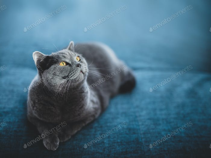 Noble cat lying on the sofa and looking up. British shorthair breed