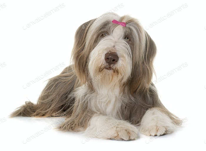 female bearded collie