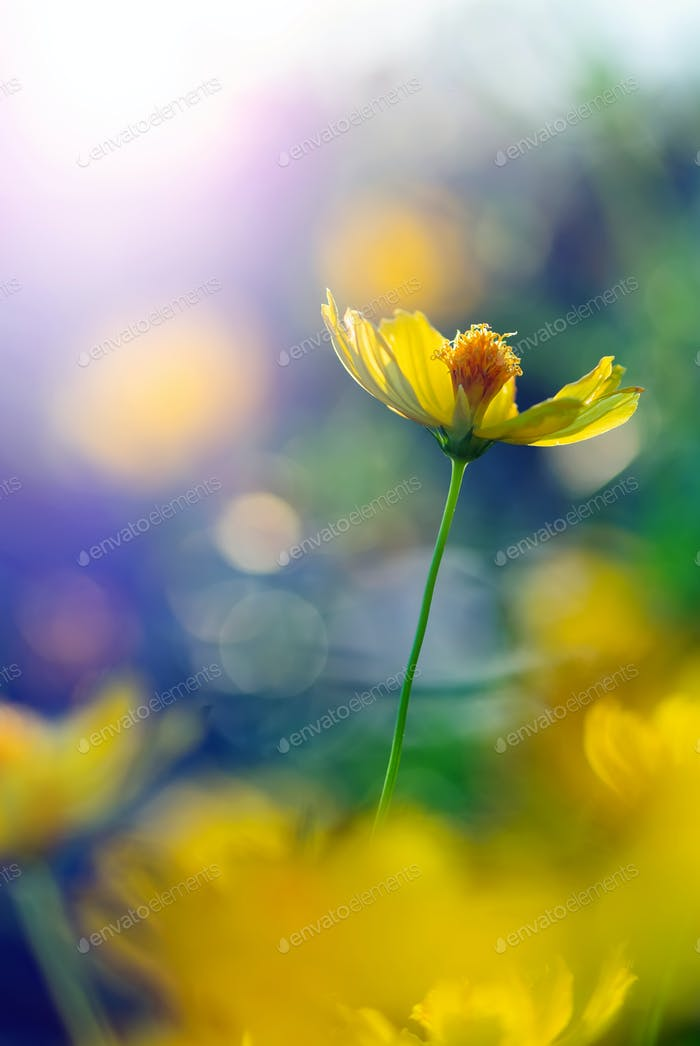 Nahansicht von gelben Kosmos Blumen