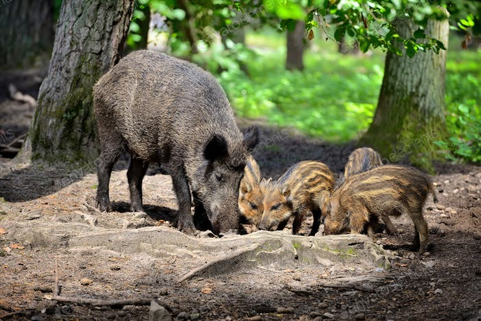 Wild boar family with striped piglets in the forest