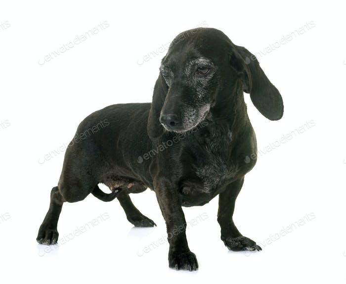 old black dachshund