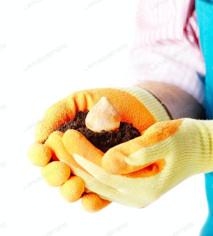 Flower bulb in farmer's hands ready for planting on white backgr