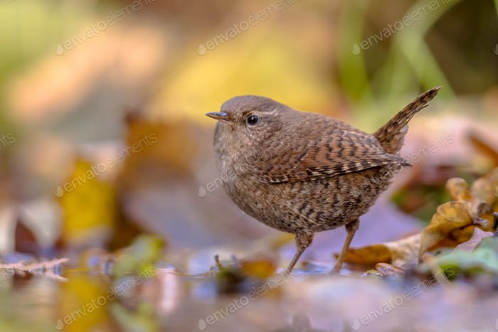 Reflection of Eurasian wren and autumn leaves
