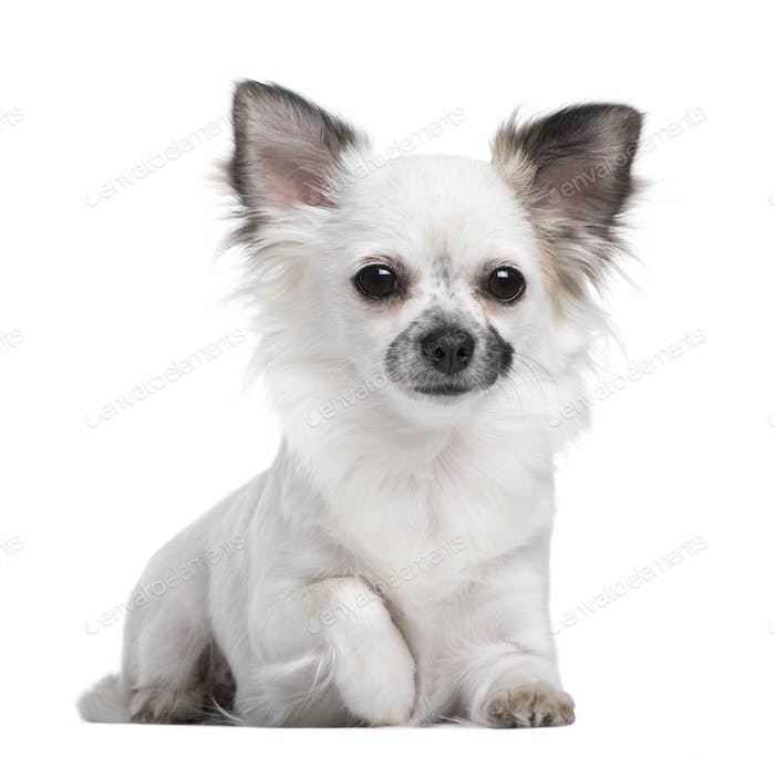 Portrait of Chihuahua puppy, 1 year olds old, sitting in front of white background