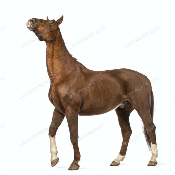 Horse stretching its neck up in front of white background