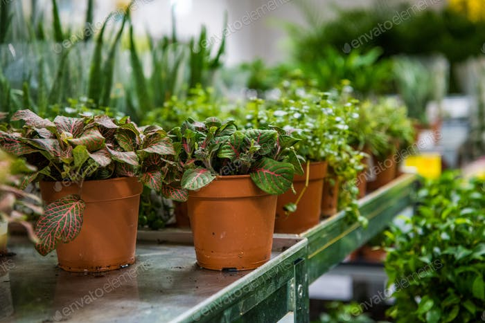 Coniferous garden plants being sold in plant nursery