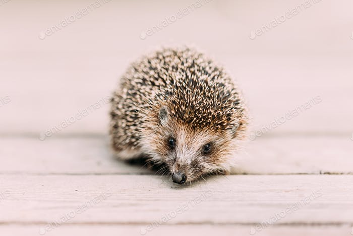 Small Funny Hedgehog Standing On Wooden Floor. European Hedgehog