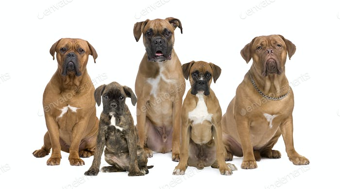 Portrait of boxer dogs sitting in front of white background, studio shot
