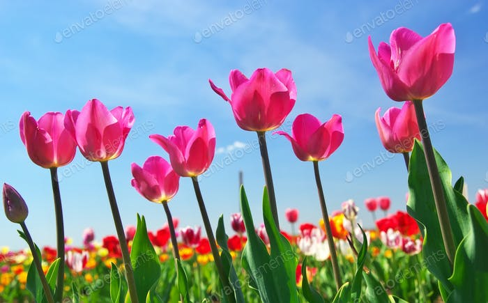Tulips on sky background.