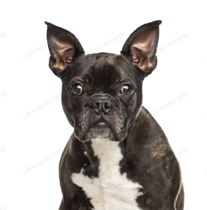 Portrait of a black and white French Bulldog, isolated on white