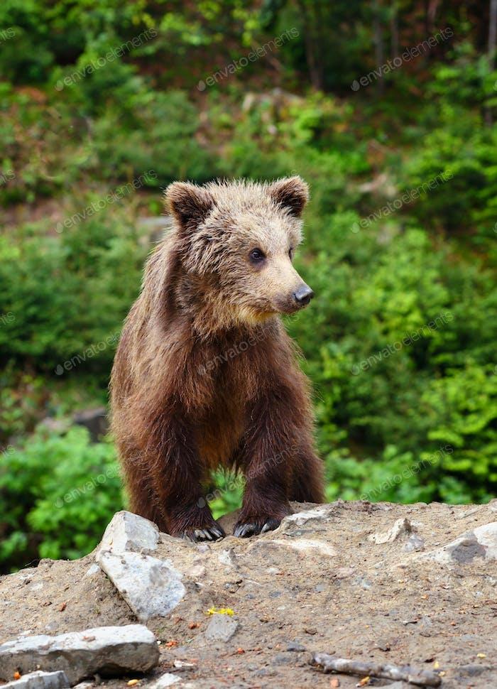 Niedliches kleines braunes Bärenjunges am Waldrand